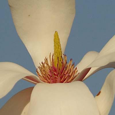 botanik der magnolie die bl te. Black Bedroom Furniture Sets. Home Design Ideas