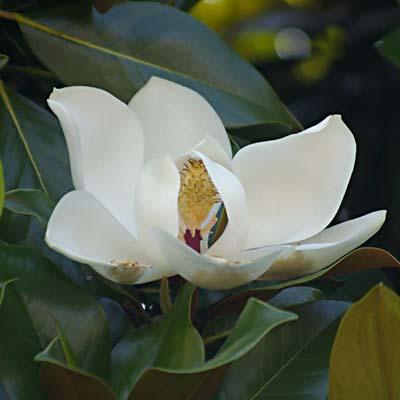 Blüte Magnolia grandiflora