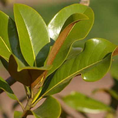 Laub Magnolia grandiflora