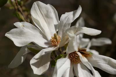 Blüte der Kobushi Magnolie