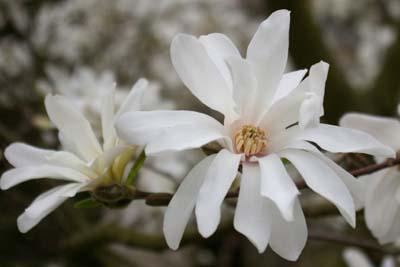 baum magnolie kobushi