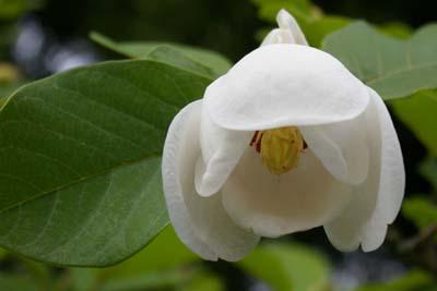 siebolds magnolie. Black Bedroom Furniture Sets. Home Design Ideas