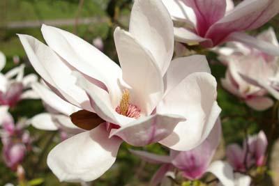 Blüte der Gartenmagnolie Magnolia soulangiana