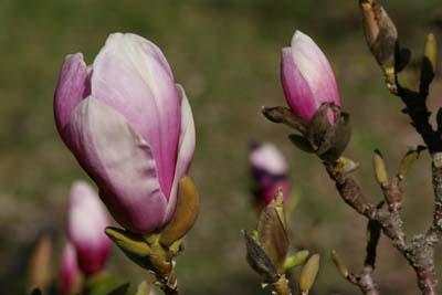 Gartenmagnolie Magnolia soulangiana Alexandrina
