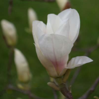 Gartenmagnolie Magnolia soulangiana Amabilis