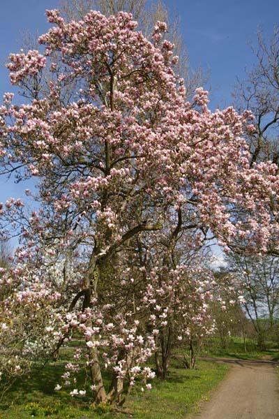 Gartenmagnolie Magnolia soulangiana Baum