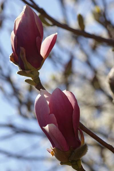 Gartenmagnolie Magnolia soulangiana Lennei
