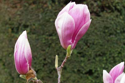 Gartenmagnolie Magnolia soulangiana Rustica Rubra