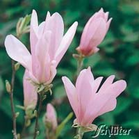 Blüte Magnolie George-Henry-Kern