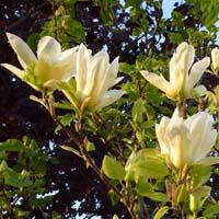 Blüte Magnolie Gold Star