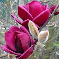 Blüte Magnolie Magie