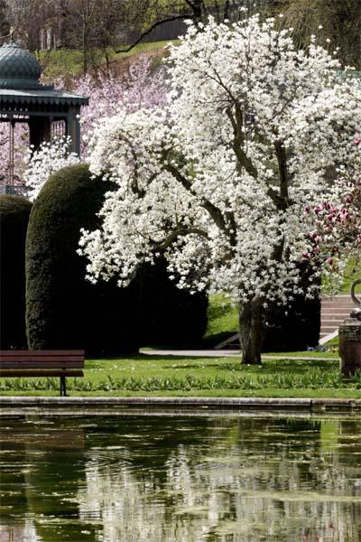 Magnolienbaum mit prachtvoller Blüte