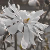 Blüte weisse Sternmagnolie