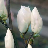 Blüte Tulpenmagnolie Alba Superba weiss