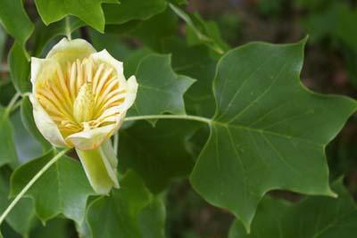 Gelbe Blüte des amerikanischen Tulpenbaums