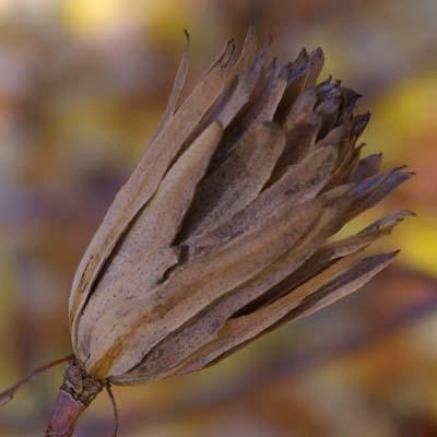 Die Frucht des Tulpenbaumes ähnelt dem Zapfen eines Nadelbaumes