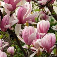 Blüte Tulpenmagnolie Soulangiana